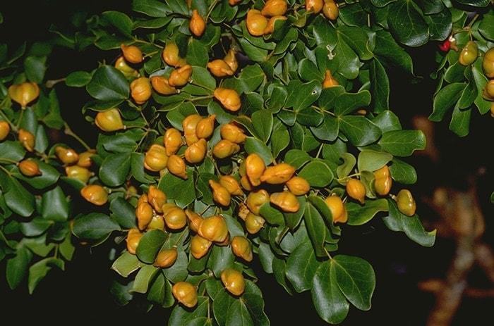 Guajakholzbaum, Pockholz, Franzosenholz, Schlangenholz