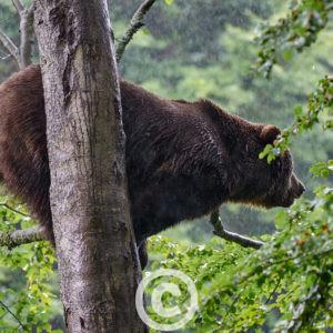 Männlicher Europäischer Braunbär Ursus Arctos