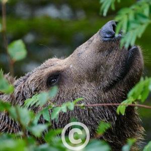 Weiblicher Europäischer Braunbär Ursus Arctos