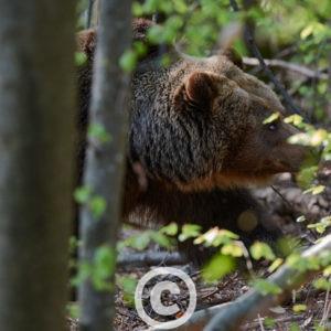 Europäischer Braunbär Ursus Arctos